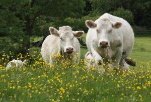 alison-charolais-cows